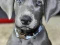 Great Dane puppy 1