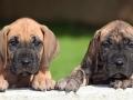 Great Dane puppy 2