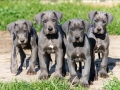 Great Dane puppy 4