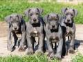 Great Dane puppy 4