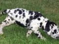 Great Dane puppy 5
