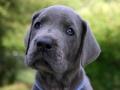 Great Dane puppy 6