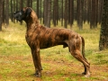 Great Dane 5