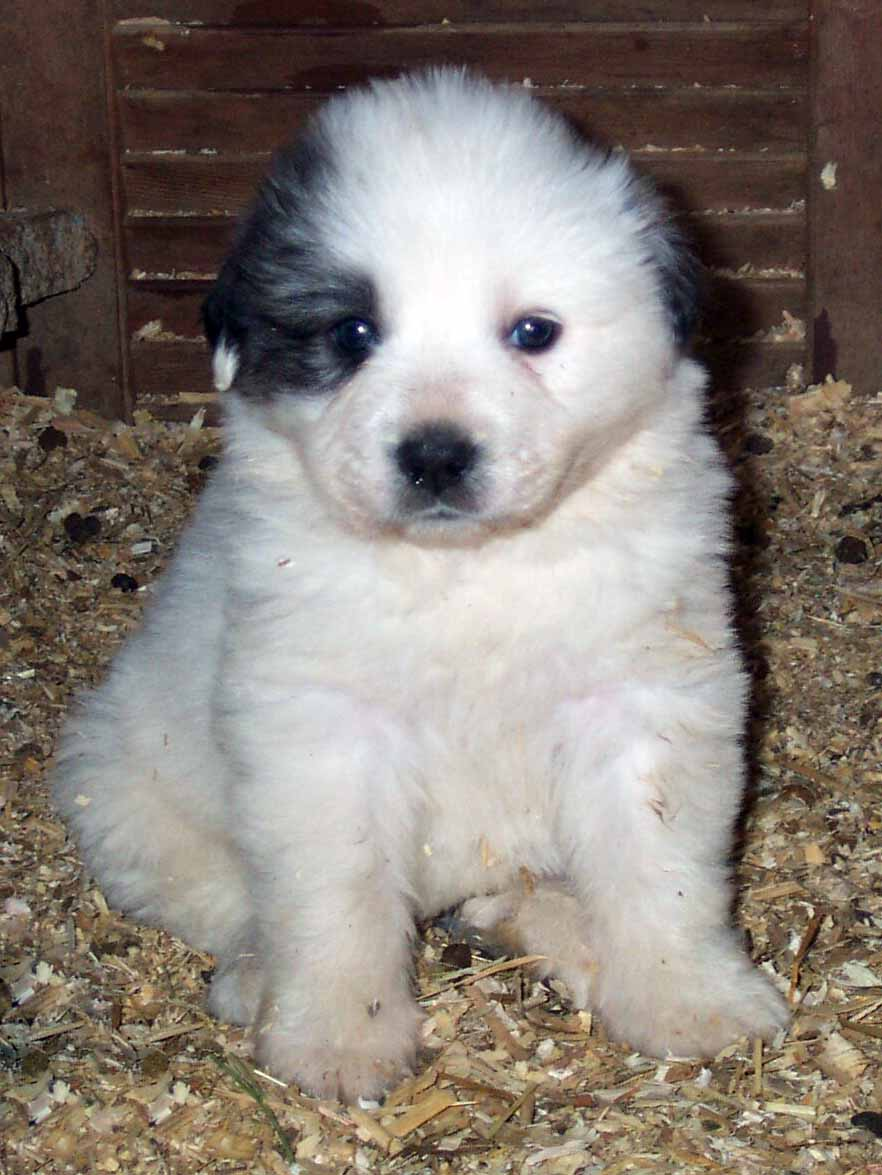 Great Pyrenees All Big Dog Breeds