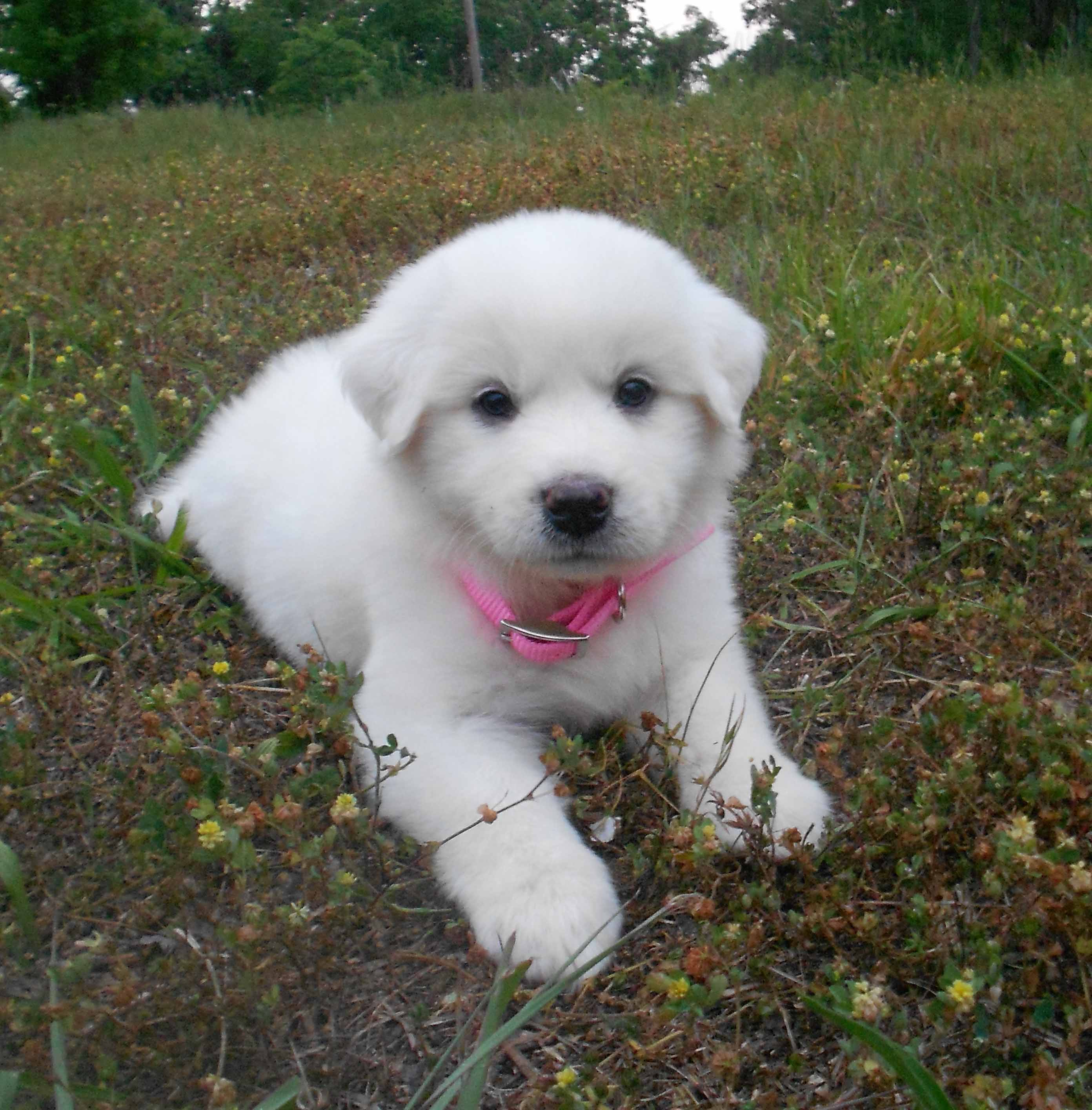 Great Pyrenees Puppy Photos: