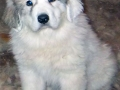 Great Pyrenees puppy 1