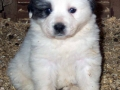 Great Pyrenees puppy 3