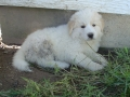 Great Pyrenees puppy 5