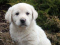 Great Pyrenees puppy 6