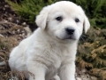 Great Pyrenees puppy 7