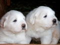 Great Pyrenees puppy 8