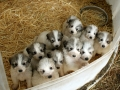 Great Pyrenees puppy litter