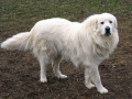 Great Pyrenees 2
