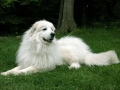 Great Pyrenees 4