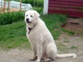 Great Pyrenees 5
