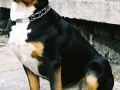 Greater Swiss Mountain Dog 2.jpg
