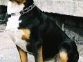 Greater Swiss Mountain Dog 2.jpg