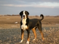 Greater Swiss Mountain Dog 3.jpg
