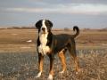 Greater Swiss Mountain Dog 3.jpg