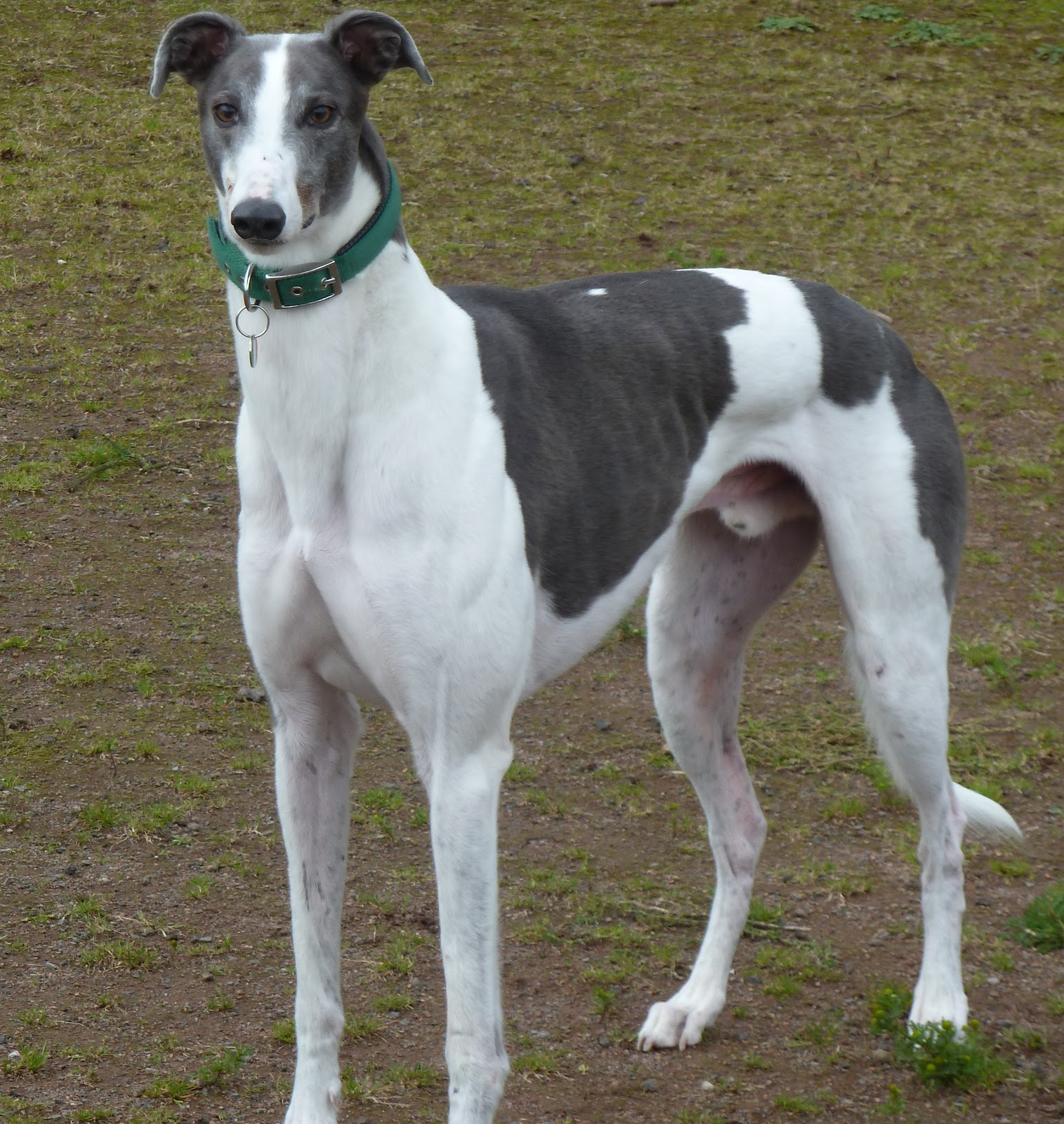 Grey Greyhound Dog