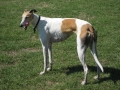 Greyhound Dog 2