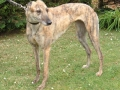 Greyhound Dog 3