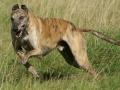 Greyhound Dog 4
