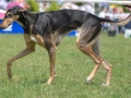 Greyhound Dog 5