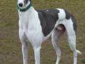 Greyhound Dog 6