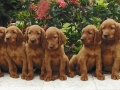 Eight irish setter puppies