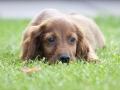 A Little Pet Of Irish Setter On The Grass