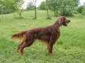 Beautiful Irish setter dog standing in the garden