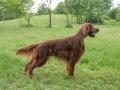 Beautiful Irish setter dog standing in the garden