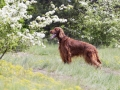 Beautiful Happy Irish Setter Dog Standing In The Grass With Flowers
