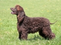 Typical Irish Water Spaniel in the spring garden
