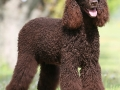 Irish Water Spaniel.jpg