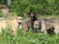 Amazing Irish Wolfhound In Nature