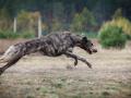 Coursing. Irish Wolfhound Dog Runs