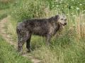 Amazing Irish Wolfhound Standing In Nature
