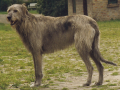 Irish Wolfhound 6