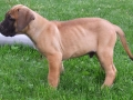 Tosa Puppy Japanese Mastiff 1
