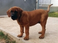 Tosa Puppy Japanese Mastiff 2