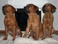 Tosa Puppy Japanese Mastiff 4
