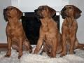Tosa Puppy Japanese Mastiff 4