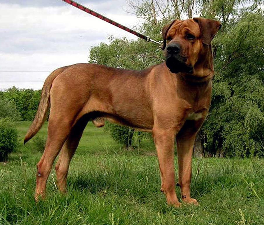 Japanese Mastiff All Big Dog Breeds