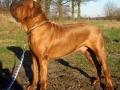 Tosa Dog Japanese Mastiff 2