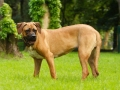 Tosa Dog Japanese Mastiff 3