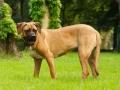 Tosa Dog Japanese Mastiff 3