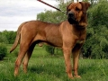 Tosa Dog Japanese Mastiff 5