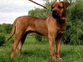 Tosa Dog Japanese Mastiff 5